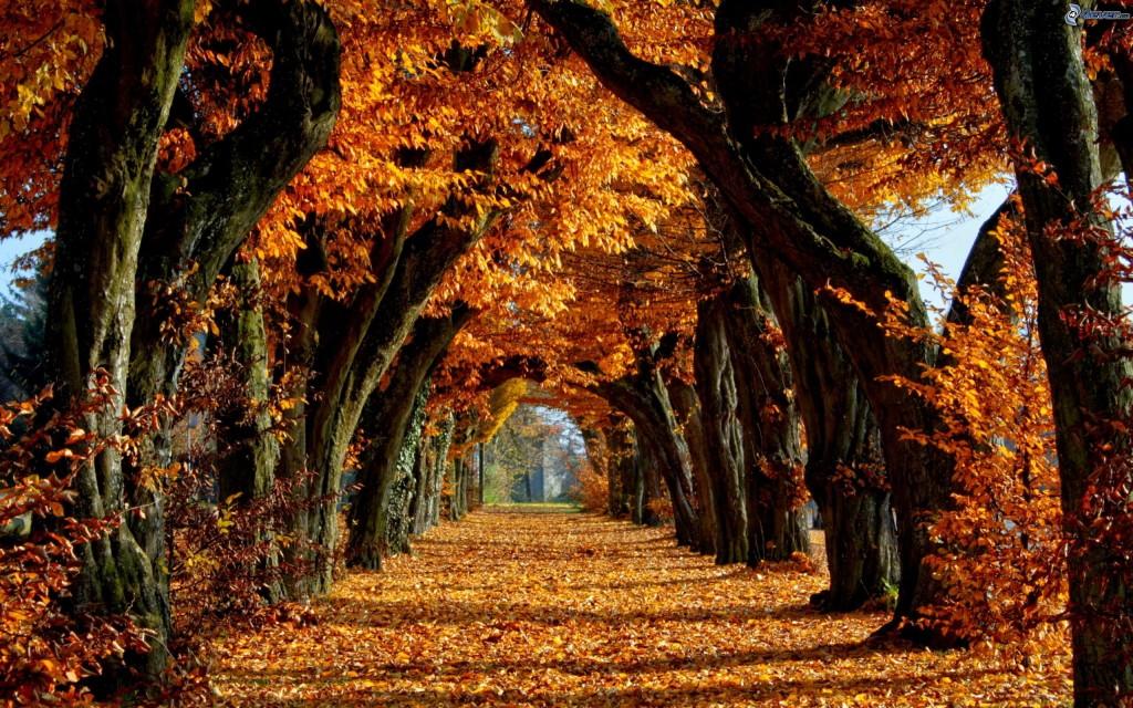 viale albero, foglie gialle, frutteto, parco, alberi gialli 161746